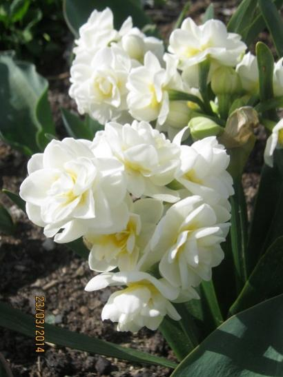 Name:  double daffodil.jpg Views: 1187 Size:  32.8 KB