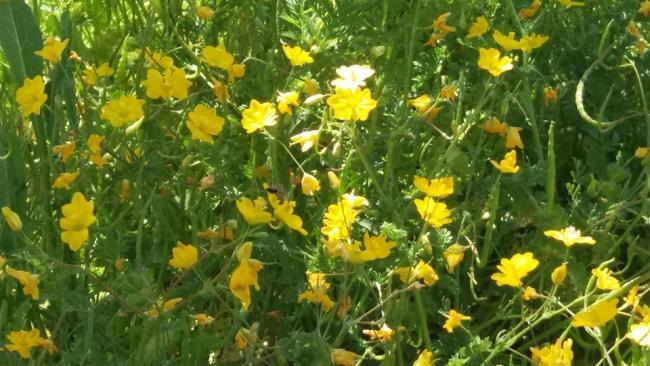 Name:  sarı kır çiç..jpg Views: 1445 Size:  57.0 KB