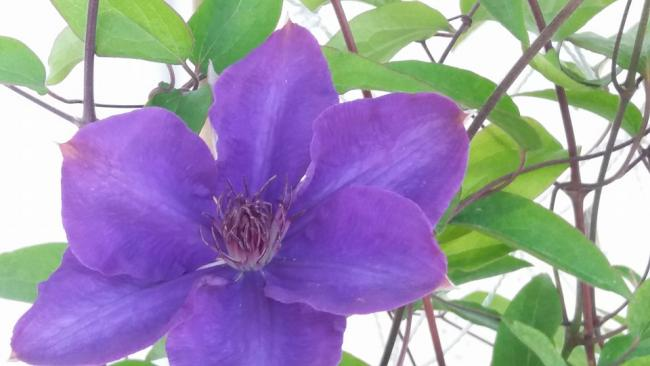 Name:  clematis tek çiçek.jpg Views: 1274 Size:  32.6 KB