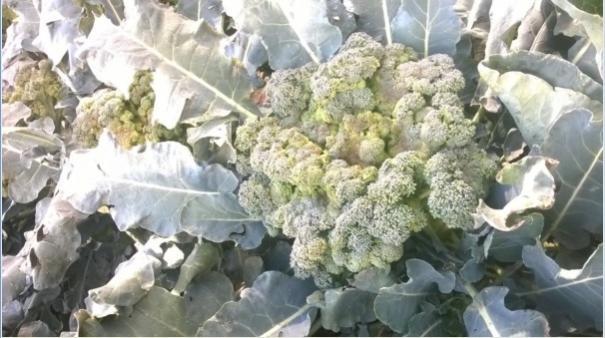 Name:  brokoli 1-09.09.2016.jpg Views: 773 Size:  42.9 KB