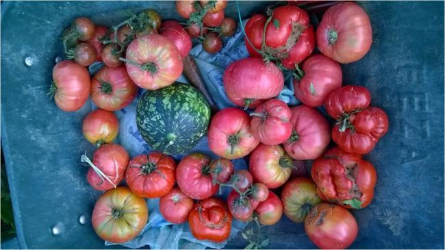 Name:  domates hasadı 10.09.2016.jpg Views: 824 Size:  47.4 KB