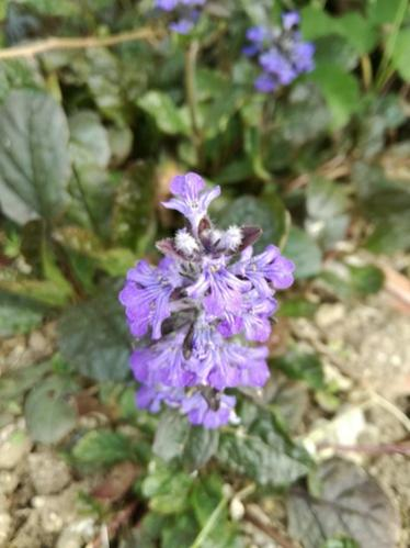 Name:  ajuga.jpg