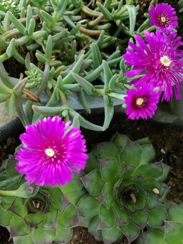 Name:  delosperma.jpg