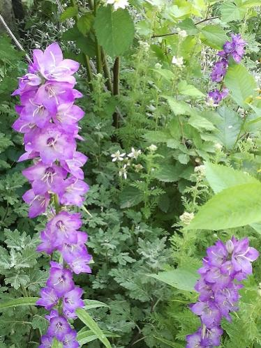 Name:  campanula.jpg