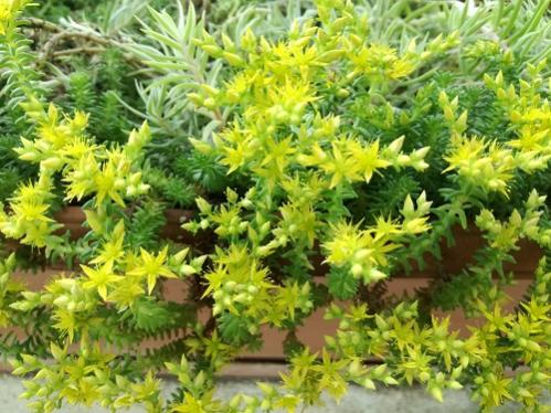 Name:  bahçe sedum1.jpg