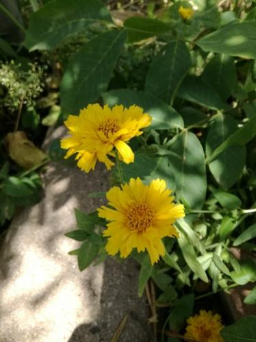 Name:  coreopsis.jpg