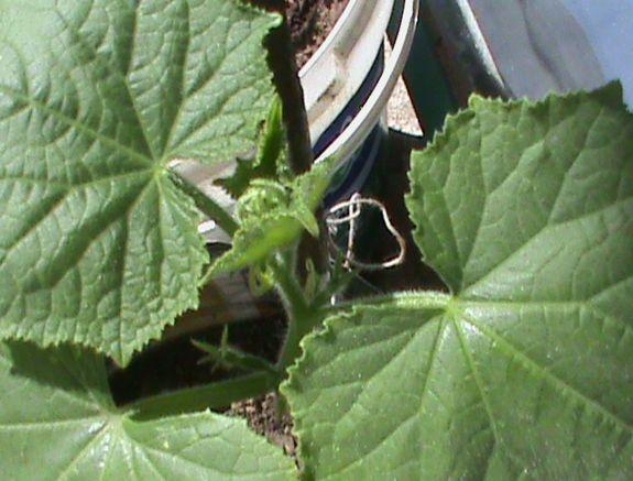 Name:  bitkilerim 008.JPG Views: 4180 Size:  57.1 KB