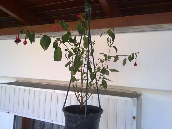 Name:  Küpe çiçeği.jpg Views: 2330 Size:  52.7 KB