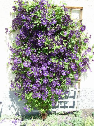 Name:  clematis-etoile-violette.jpg