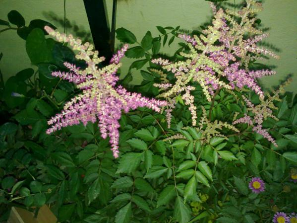 Name:  Astilbe.jpg