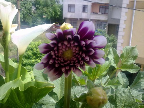 Name:  Dahlia ve Galla.jpg