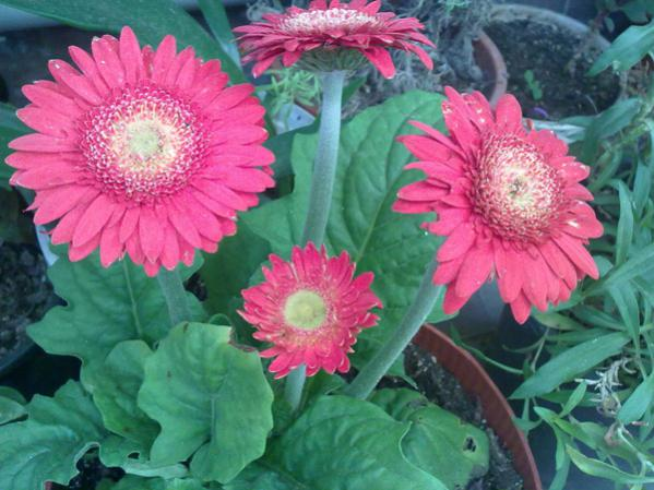 Name:  Gerbera 2.jpg