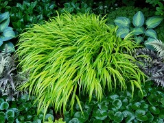 Name:  hakonechloa-all gold from a way to garden shade plants 2 blog post.jpg
