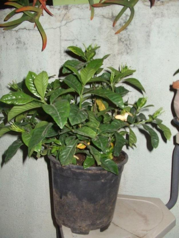 Name:  Gardenia.jpg Views: 1995 Size:  71.1 KB