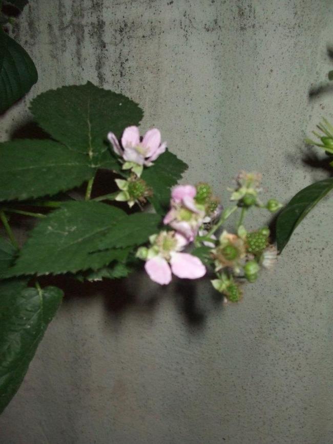 Name:  Böğürtlen çiçek.jpg Views: 2018 Size:  68.2 KB