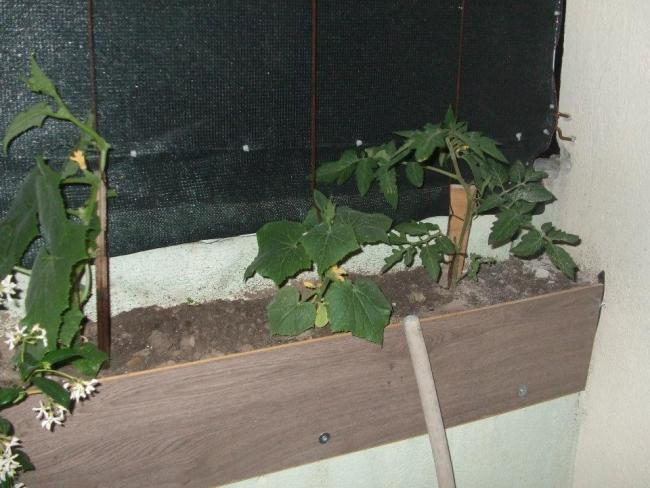 Name:  Salatalık ve domates.jpg Views: 1882 Size:  49.2 KB