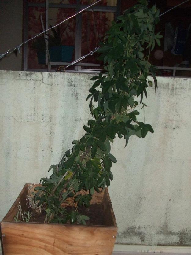 Name:  Passiflora.jpg Views: 1971 Size:  70.5 KB