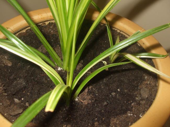 Name:  Drasena (Dracaena marginata)1.jpg Views: 1640 Size:  52.9 KB