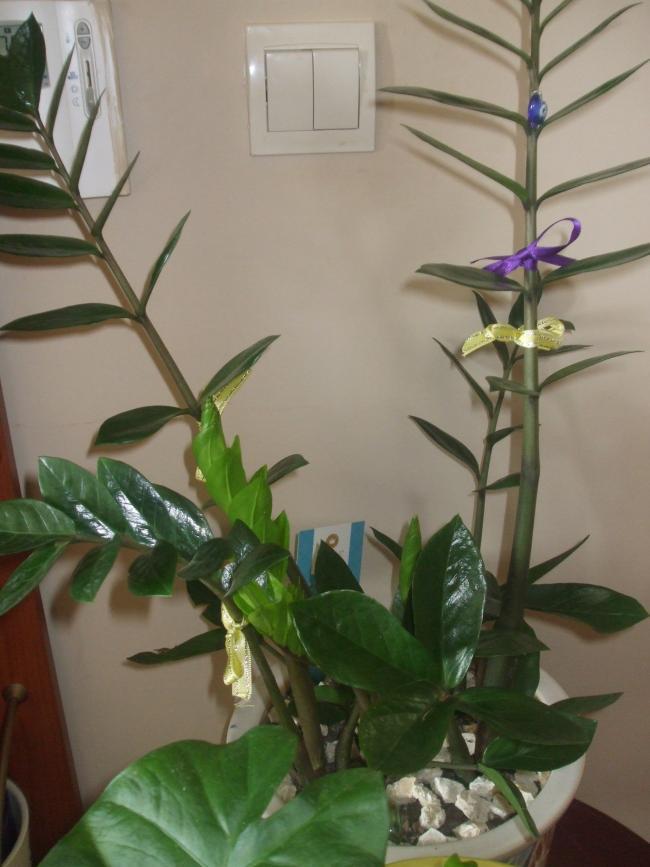 Name:  Zamioculcas zamiifolia (Aroid palm, Arum fern).jpg Views: 1443 Size:  56.4 KB