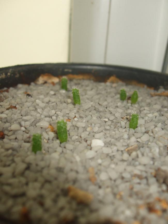 Name:  kaktüs tohum.jpg Views: 1635 Size:  42.1 KB