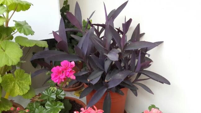 Name:  Mor Telgraf Çiçeği 3.jpg Views: 2776 Size:  30.2 KB