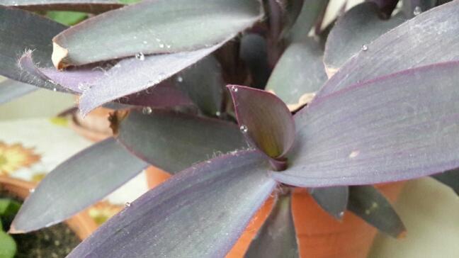 Name:  Mor Telgraf Çiçeği 2.jpg Views: 1637 Size:  28.6 KB