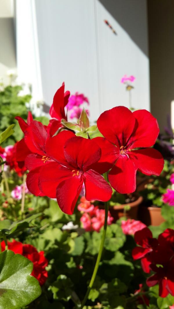 Name:  Koyu Kırmızı Sardunya.jpg Views: 1883 Size:  63.6 KB