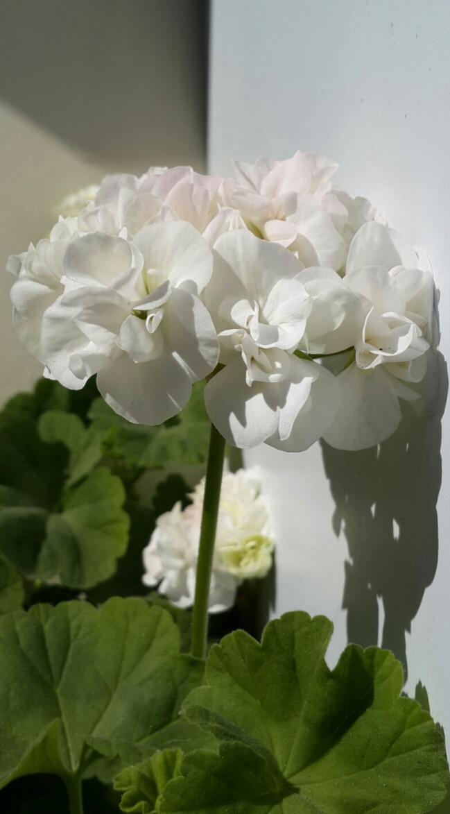 Name:  Beyaz Sardunya.jpg Views: 1849 Size:  57.3 KB