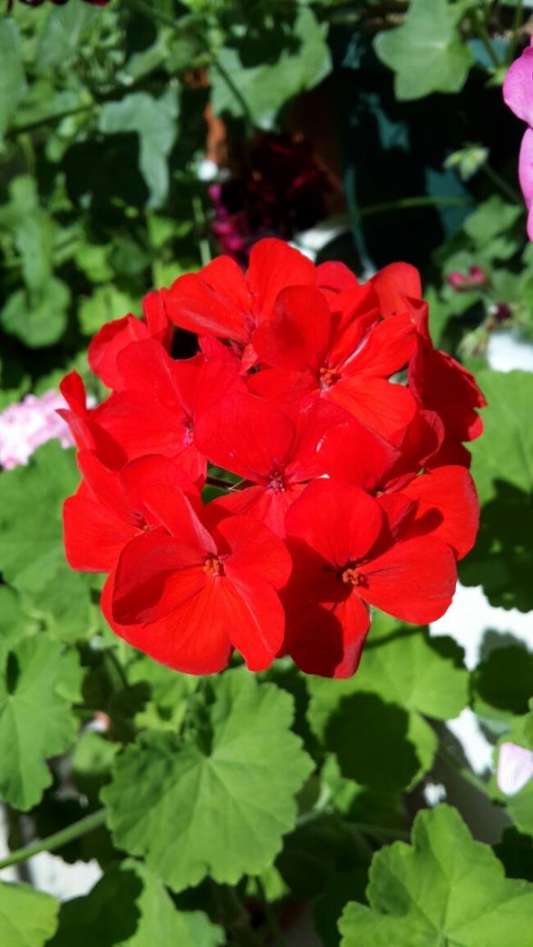 Name:  Kırmızı Sardunya.jpg Views: 1771 Size:  63.9 KB