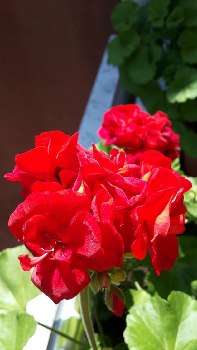 Name:  Simli Kırmızı Sardunya.jpg Views: 1628 Size:  62.0 KB