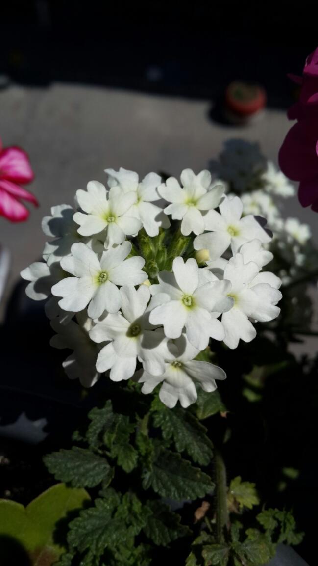 Name:  Beyaz Mine Çiçeği.jpg Views: 2050 Size:  56.8 KB