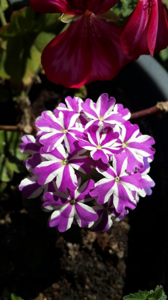 Name:  Mor Mine Çiçeği.jpg Views: 1950 Size:  64.5 KB