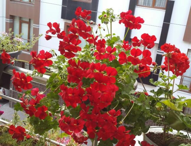 Name:  Kırmızı Sakız Sardunya 2.jpg Views: 2895 Size:  69.1 KB