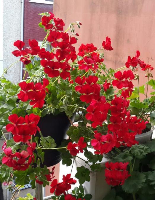 Name:  Kırmızı Sakız Sardunya 1.jpg Views: 2816 Size:  69.4 KB