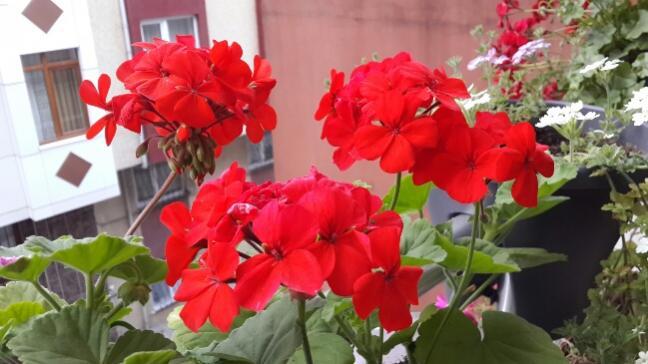 Name:  Kırmızı Sardunyalar.jpg Views: 1692 Size:  40.3 KB