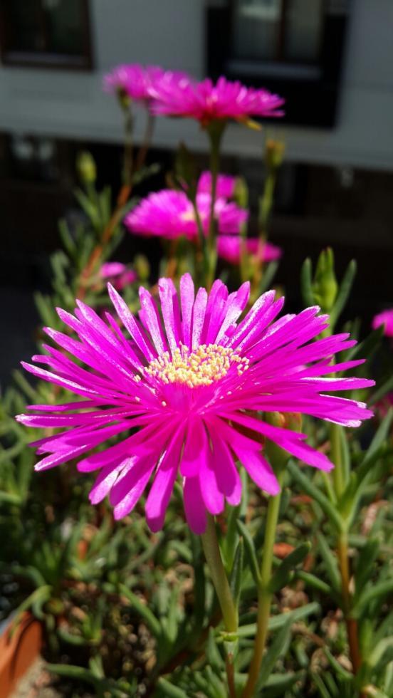 Name:  Lampranthus 3.jpg Views: 1540 Size:  67.2 KB