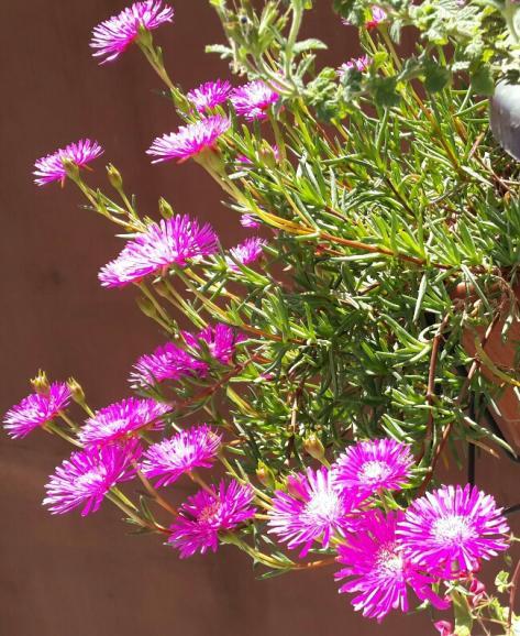 Name:  Lampranthus 4.jpg Views: 1562 Size:  71.7 KB