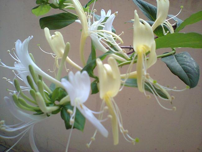 Name:  4-Hanımelim çiçeklendi-5.jpg Views: 3888 Size:  38.9 KB