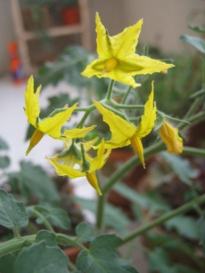 Name:  dom. çiçek.jpg Views: 380 Size:  27.0 KB