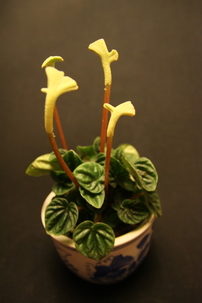 Name:  Peperomia caerata - 5 Ekim 2009.JPG