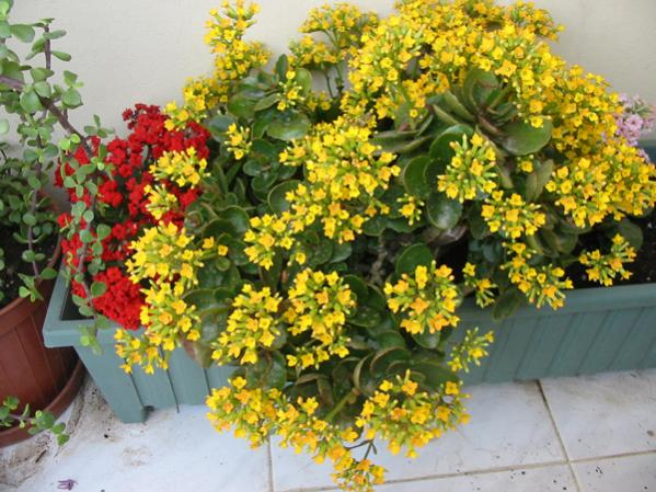 Name:  kalanchoe.jpg