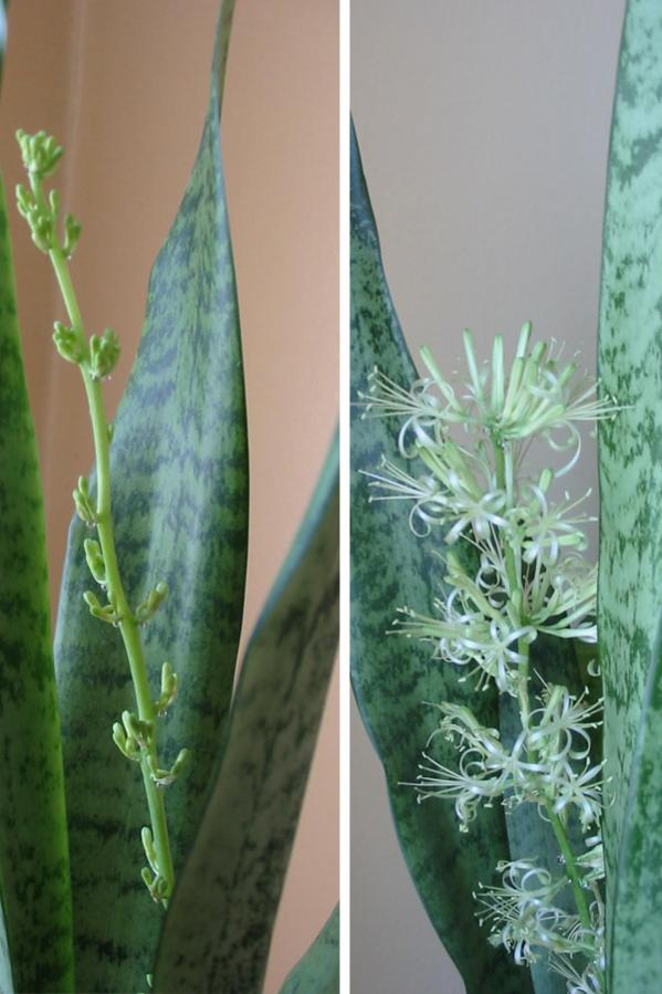 Name:  sansevieria.jpg