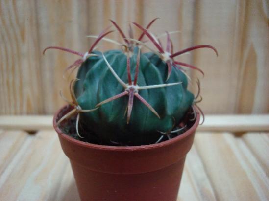 Name:  Ferocactus latispinus.jpg Views: 1747 Size:  22.3 KB