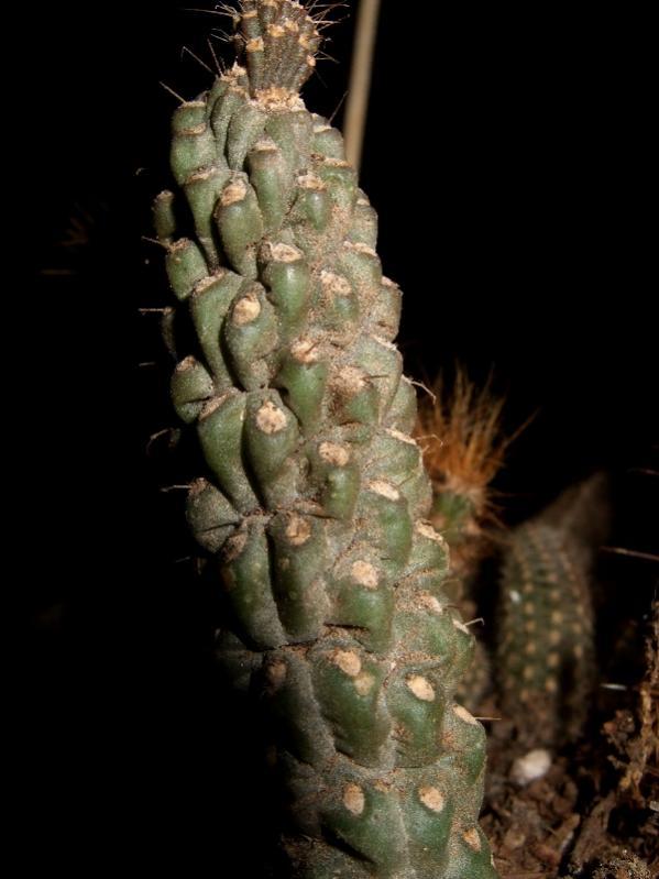 Name:  Cylindropuntia fulgida var. mammilata.jpg Views: 1537 Size:  49.4 KB