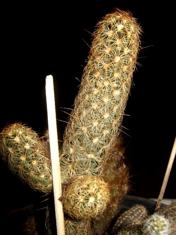 Name:  .mammillaria elongata.jpg