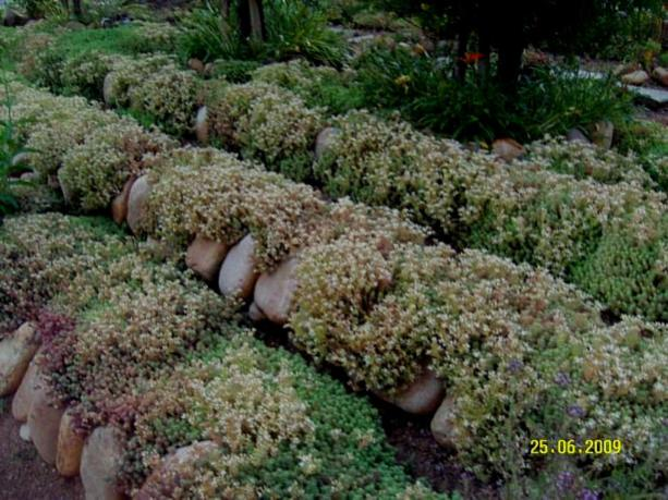 Name:  sedum hispanicum2.jpg