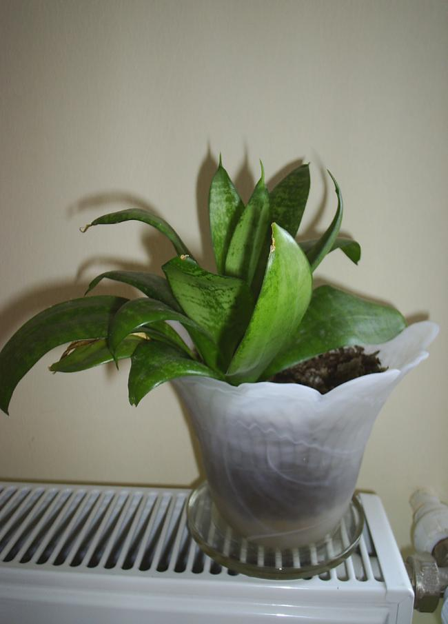 Name:  mini sansevieria.jpg
