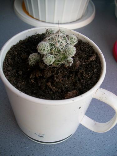 Name:  Mammillaria Gracilis.jpg Views: 2477 Size:  61.4 KB