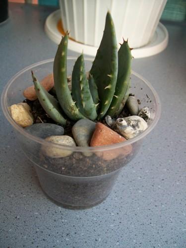 Name:  Aloe aculeata.jpg Views: 2376 Size:  64.6 KB