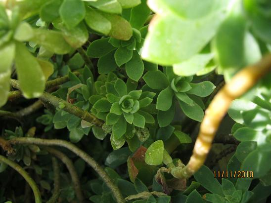 Name:  sedum palmeri1.JPG